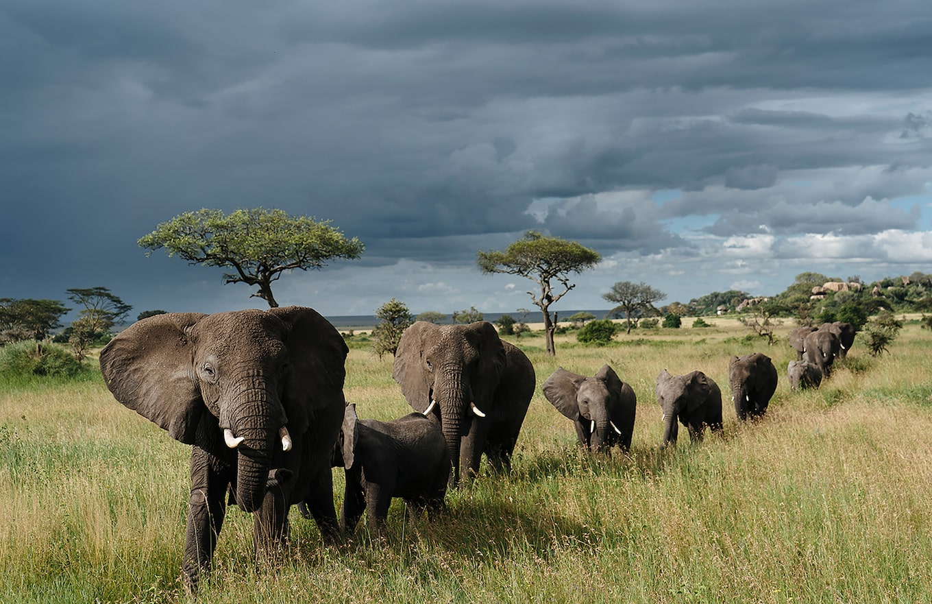 Chris-Schmid-herd-of-elephants-walking-in-Tanzania