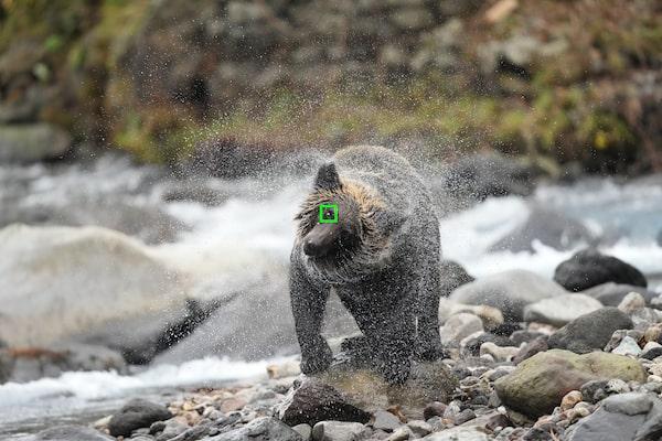 Orso con un riquadro AF sugli occhi